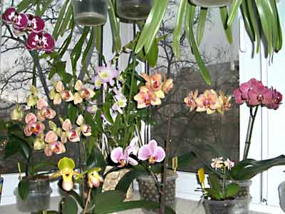 Где разместить в квартире орхидеи